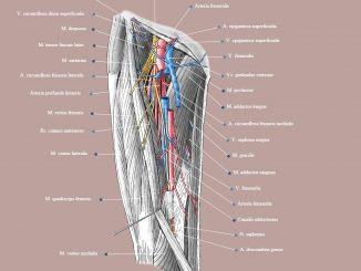 Giải phẫu mạch và thần kinh vùng đùi